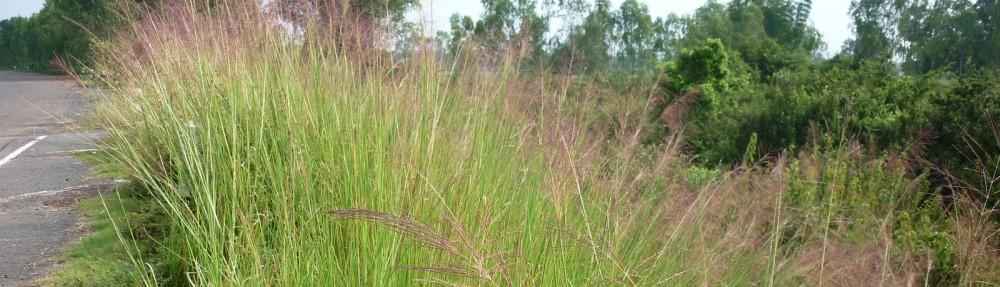 ขายหญ้าแฝก.net